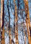 Winterbäume Quelle: Athenaeum Stade